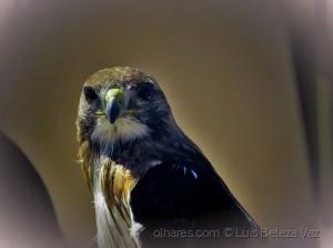 Animais/Olhar de Falcão