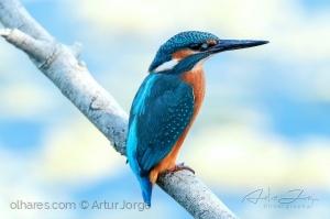 Animais/Guarda-rios (Alcedo atthis)