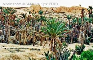 Paisagem Natural/MORTE  NO PALMEIRAL  !!!  (  TUNISIA  )