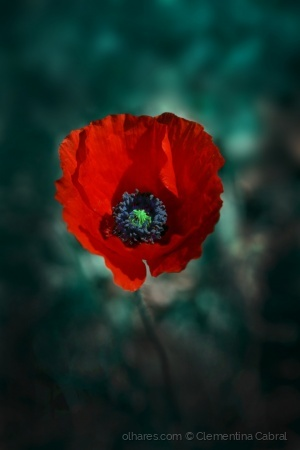 /Not Only About Poppies