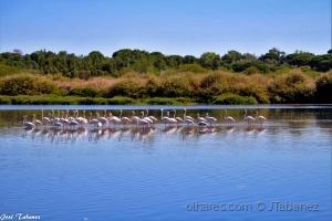 /Flamingos (Phoenicopterus roseus)