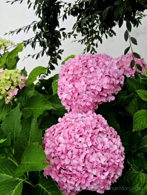 /Hortências flores de verão