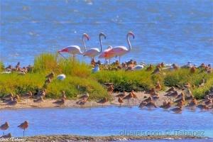 /Flamingos (Phoenicopterus roseus) e Maçaricos-de-b