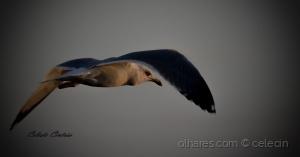 /Se uma gaivota viesse....
