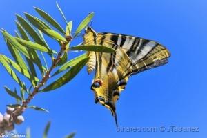 /Borboleta zebra (Iphiclides feisthamelii)