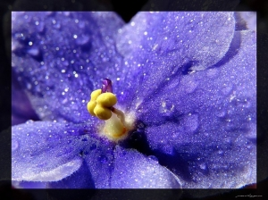 /violetas parte II