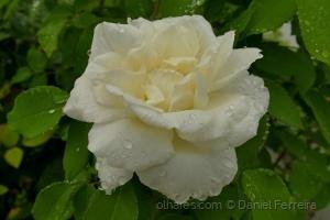 /Uma rosa para para todos  (Ler)