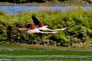 /Flamingos Phoenicopterus roseus