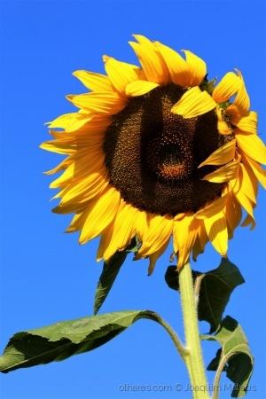 /Yellow Sunflower...