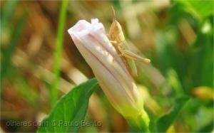/O saltarico e a flor...