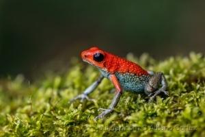 /Granular poison frog
