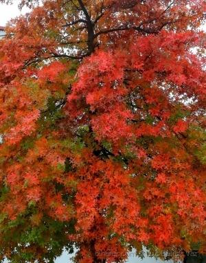 Paisagem Natural/Quercus palustris / carvalho vernelho